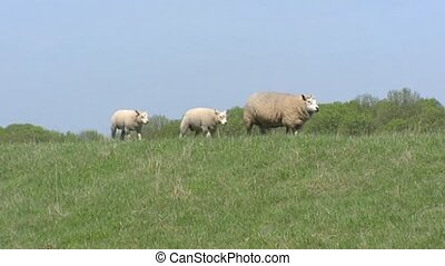 Sheep with lambs running on top of dike along...