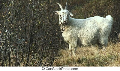 White Goat - White goat grazing in the bush