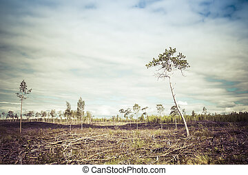 Clearcut Aftermath - Few birch trees left after a forest...