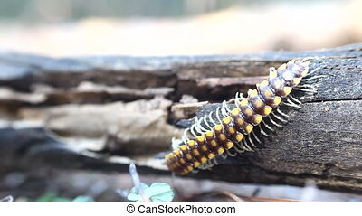 insect move centipede macro tropical bug - movement of...