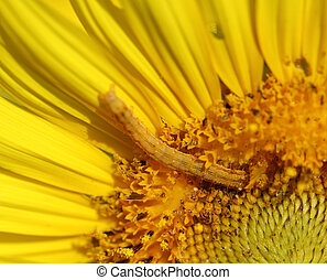 caterpilla on sunflower pollen - close up of caterpilla on...