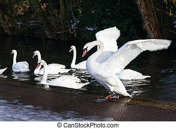 Beautiful swans on a lake
