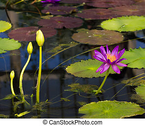 Water lilly in the pond in spring