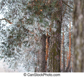Pine trees covered with hoarfrost in the cloudy day Close up...