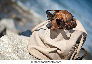 Dachshund dog with sunglasses at sea put in a bag