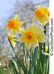 narcissus - beautiful blooming narcissus in a garden