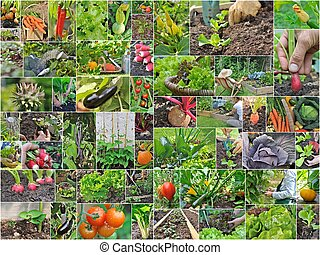 vegetable garden - collage with vegetables and gardening in...