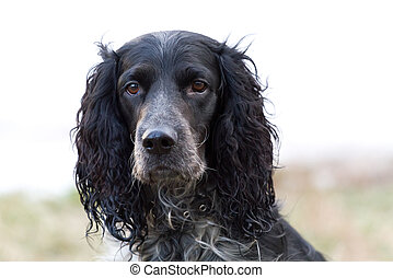 Portrait of Cocker Spaniel in winter