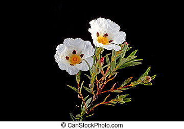 Gum rockrose - Cistus ladanifer - in the heath fields of...