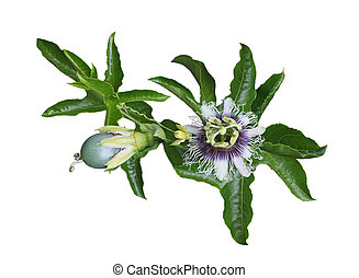 Passiflora Laurifolia passion fruit, flower and leaf on vine...