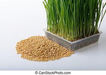 trigo, pasto o césped, y, trigo, granos,