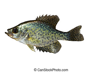 White Crappie pomoxis - White Crappie pomoxis fish isolated...