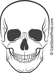 skull - Human skull on isolated white background, excellent...