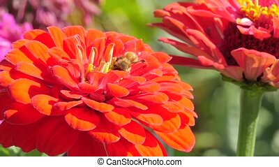 red dahlia and bee - red dahlia in a sunny day close up
