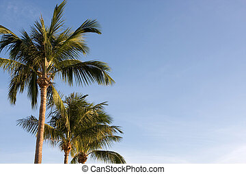 Palm Trees - Three palm tree back-dropped by a blue sky for...