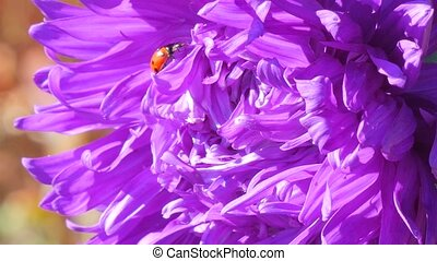 purple flower and ladybird - ladybug on purple dahlia close...