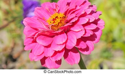 pink dahlia and bee - pink dahlia in a sunny day close up