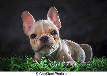 close up lovely face of french bull dog lying on green grass...