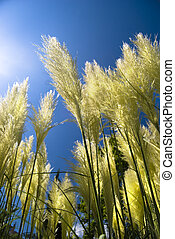 Pampas grass - Golden and white pampas grass swaying in the...