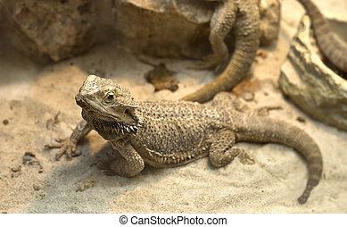 a agamid lizard crawling on sand - A agamid lizard crawling...