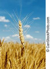golden color harvest on field