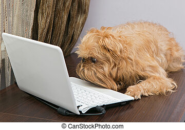 Dog and a laptop - Dog breed Griffin sits on the table and...