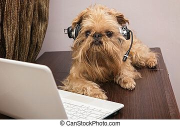 Dog in the headphones with microphone - Dog breed Griffon...