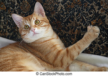 Portrait Orange cat - Portrait of a beautiful Orange cat...