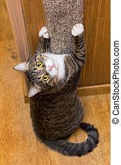 gris, gato, afilado, el suyo, garras,