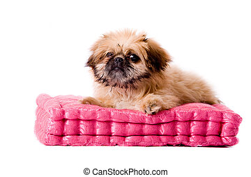 pekingese dog laying on my pillow