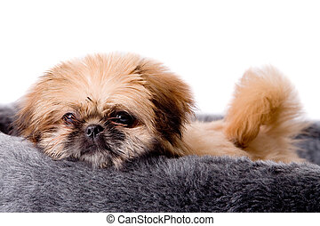 Sweet pekingese dog