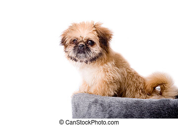 Pekingese dog and his basket