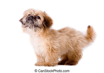 Asking pekingese dog
