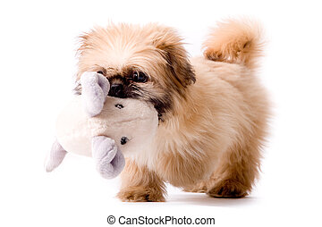 Pekingese dog brings you his toy