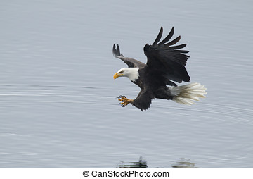 Eagle just above water. - A bald eagle swoops in to the...