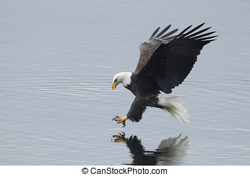 Eagle reaches for fish. - A bald eagle swoops in to the...