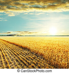 golden harvesting field and sunset over it