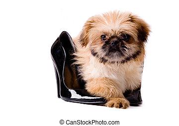 Pekingese dog with pumps - Cute little pekingese dog...