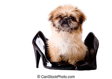 Pekingese pump dog - Cute little pekingese dog isolated on...