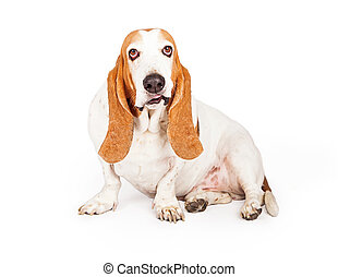 Basset Hound Dog Smirking