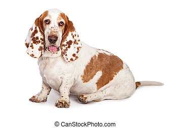Basset Hound Dog Spotted Ears Sitting - A pretty Basset...