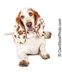 Basset Hound Dog With Funny Expression