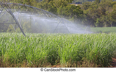sugar cane irrigation - watering of young sugarcane in...