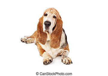 Senior Basset Hound Dog Laying - An old Basset Hound dog...