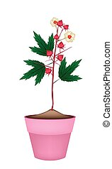 Hibiscus Sabdariffa Plant in Ceramic Flower Pots - Food and...