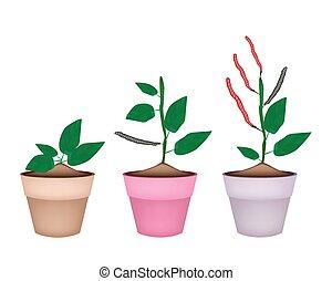 Kidney Bean Plant in Ceramic Flower Pots - Fresh Red Kidney...