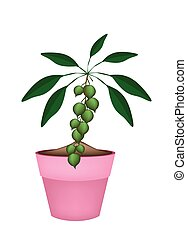 Macadamia Nuts on Branch in Ceramic Flower Pots - Fresh...