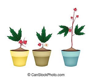 Three Hibiscus Sabdariffa Plant in Ceramic Pots - Food and...