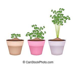 Fresh Green Coriander in Terracotta Flower Pots