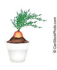 Fresh Orange Carrot in Ceramic Flower Pots - Vegetable,...